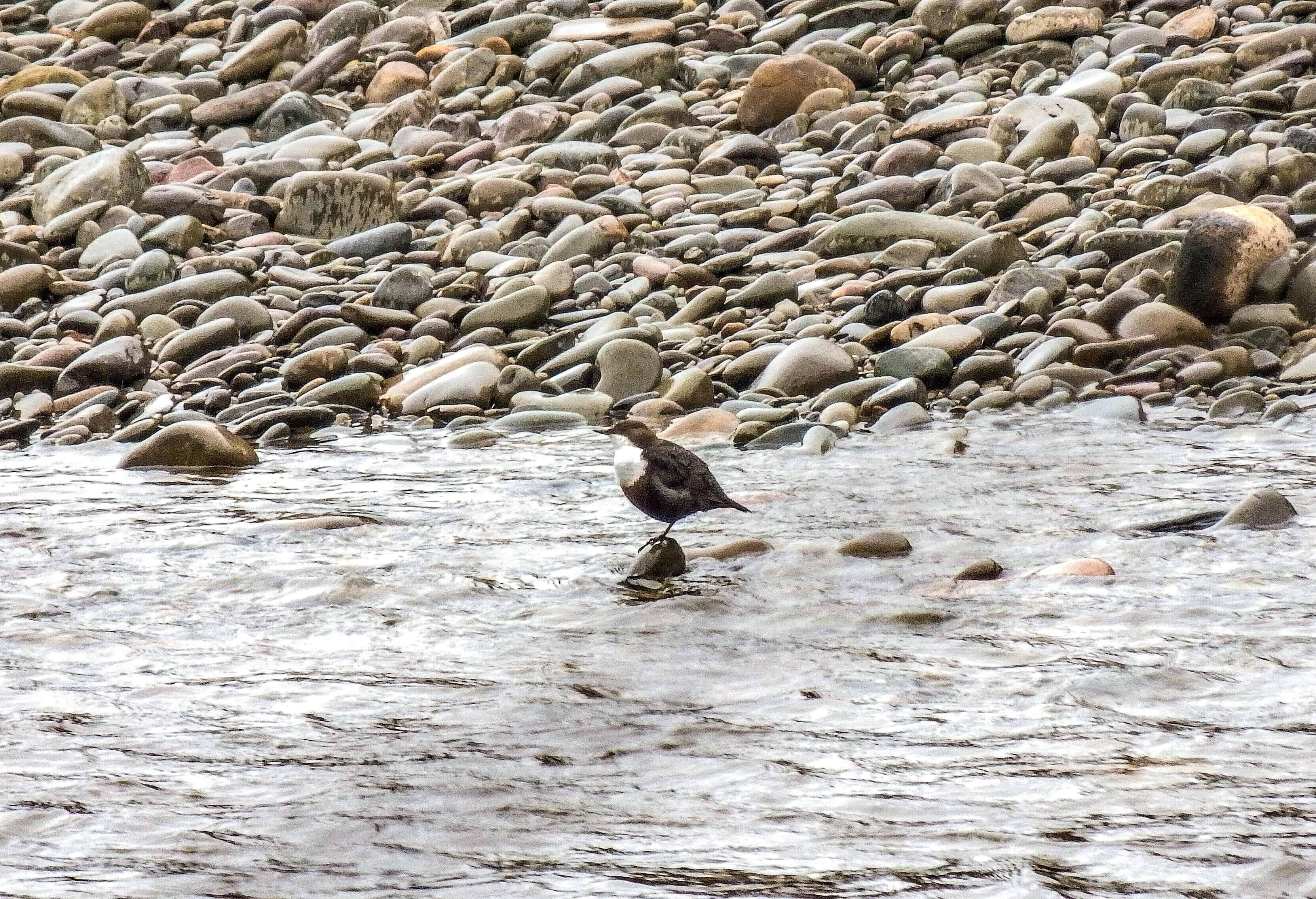 Dipper River Tweed
