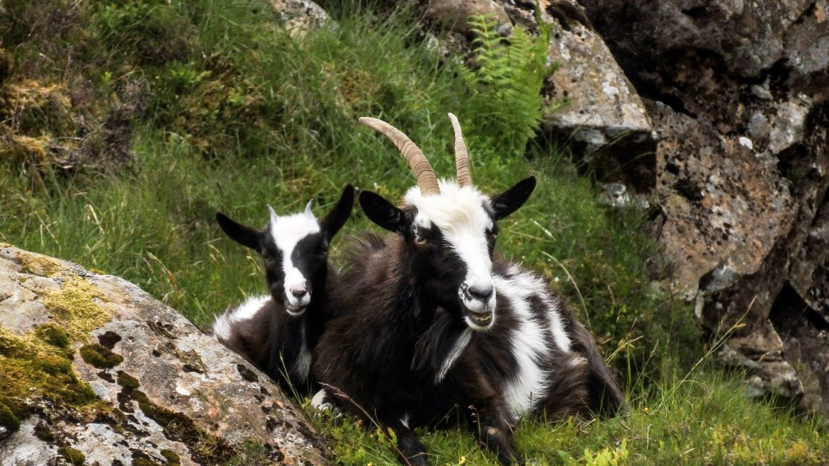 Wild Mountain Goats Scotland