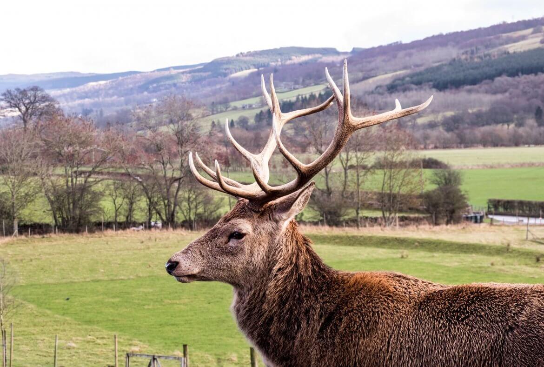 Highland-Safaris-Red-deer-2