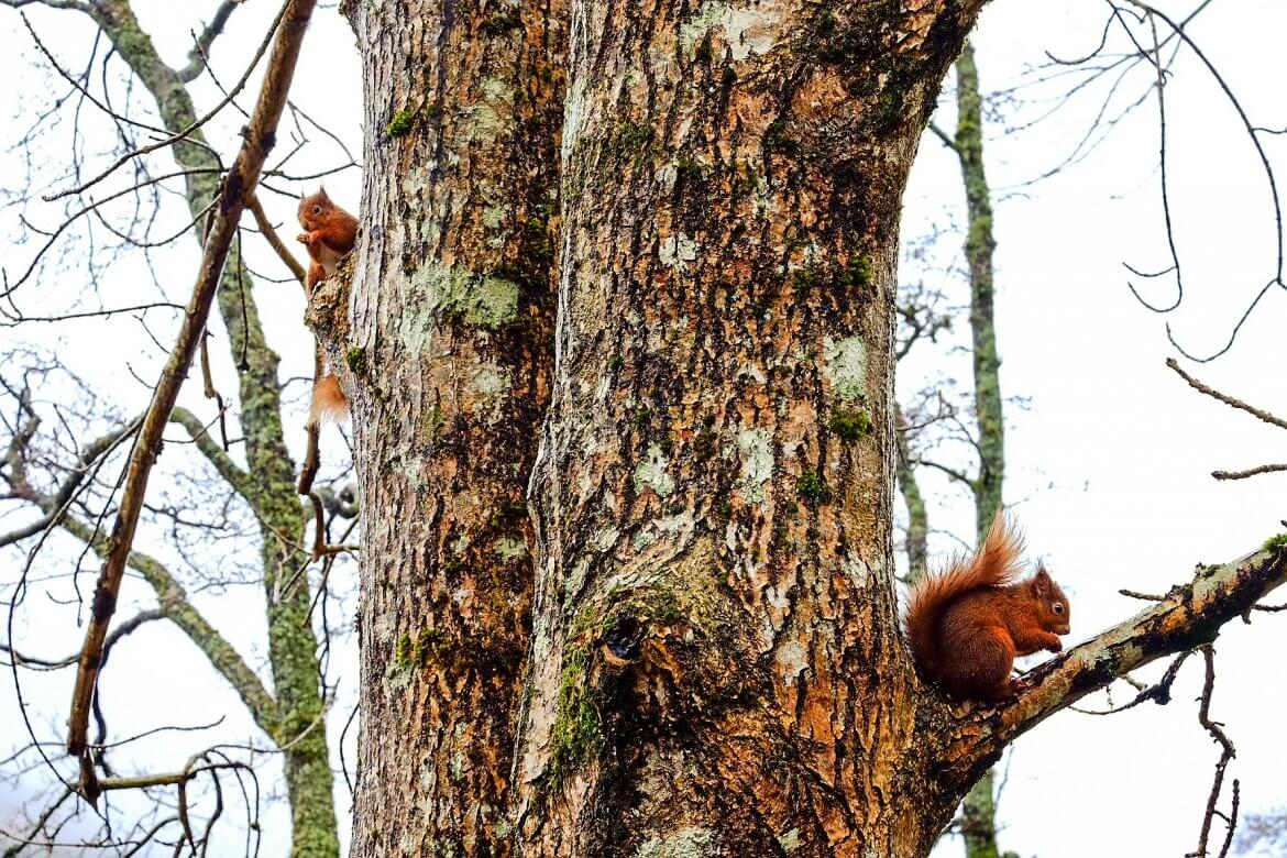 Red Squirrel Scotland 2