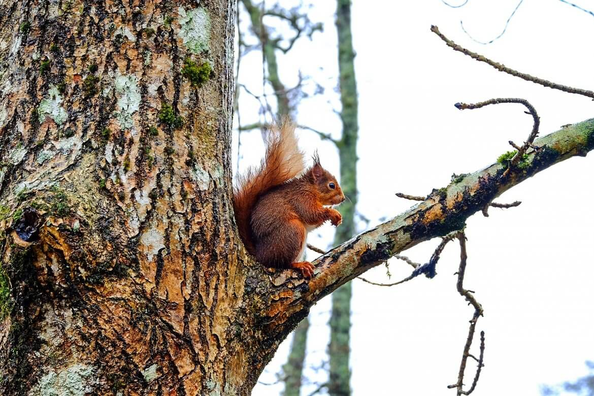 Red Squirrel Scotland 3
