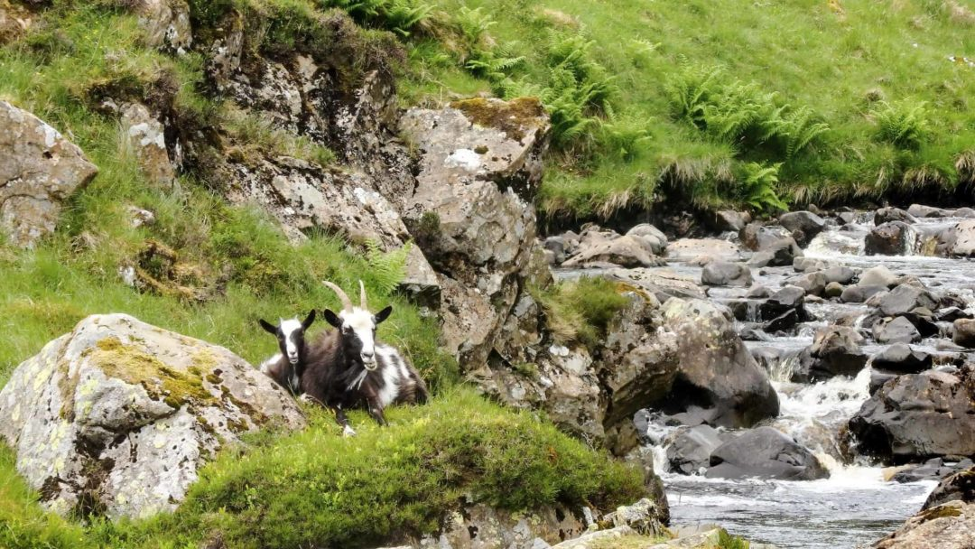 Goats, Grey Mare's Tail & Loch Skeen