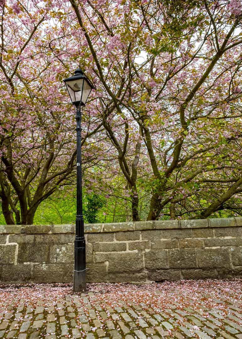 Cherry Blossom in Aberdeen