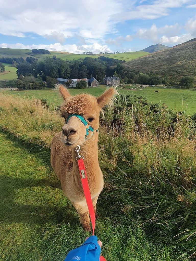 Alpaca trekking Scotland