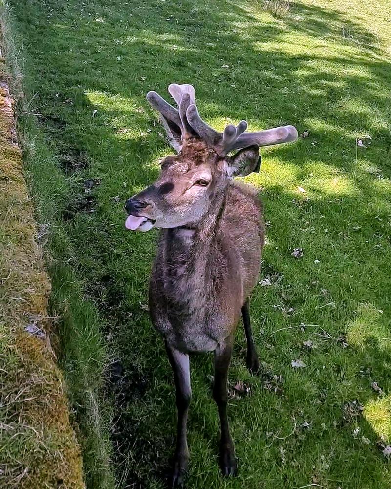 Deer at Hopetoun House